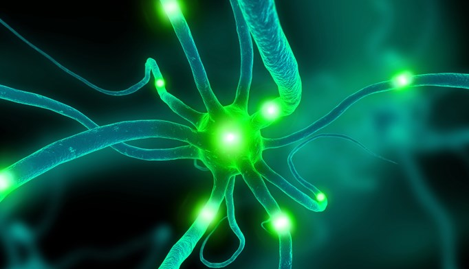 Researchers uncovered a link between elevated levels of C4A protein, excessive synaptic pruning, and the development of schizophrenia.