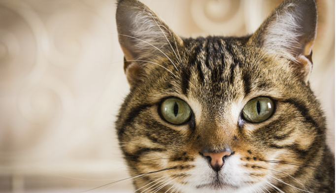 Two Studies Find Link Between Cat Ownership and Schizophrenia