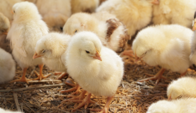 Chicken genes are grouped into much smaller linkage blocks than mammalian genomes are, allowing researchers to pinpoint genome regions associated with a trait, such as anxious behavior.