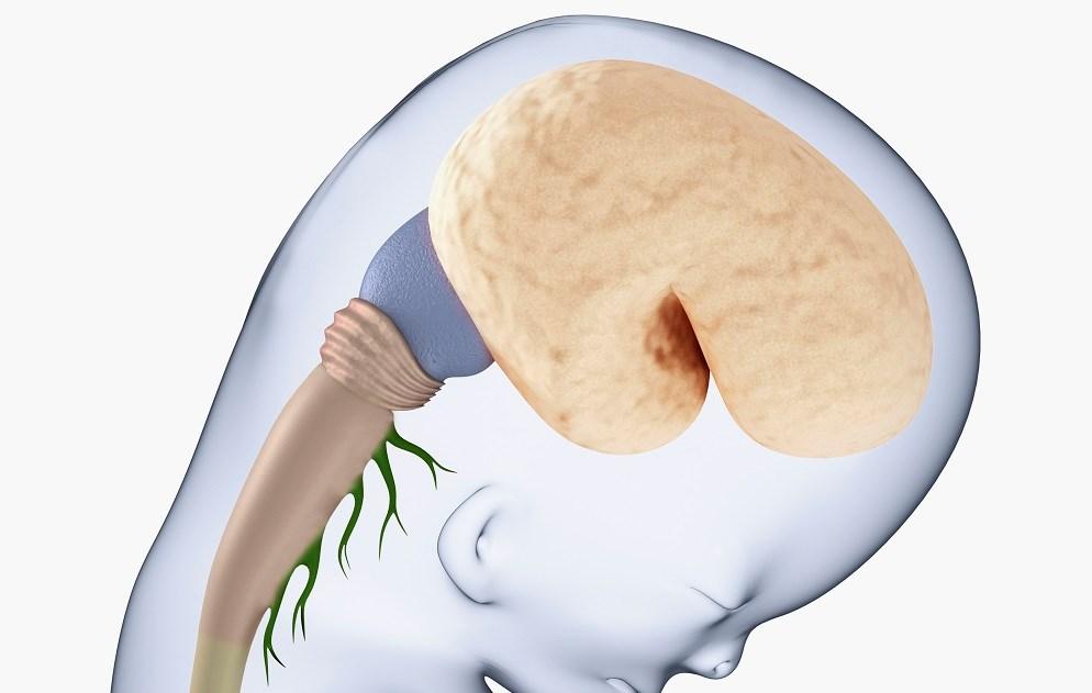 Prenatal selective serotonin reuptake inhibitor exposure may affect fetal brain development.